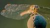 Common Darter at Sunset - female