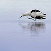 Pied Avocet (Säbelschnäbler) when it itches