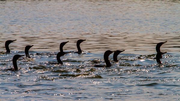 A procession of Cormorants