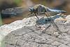 Kleiner Blaupfeil - Keeled Skimmer