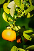 Calamondin Lime - decorative citrus