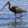 Juvenile Glossy Ibis