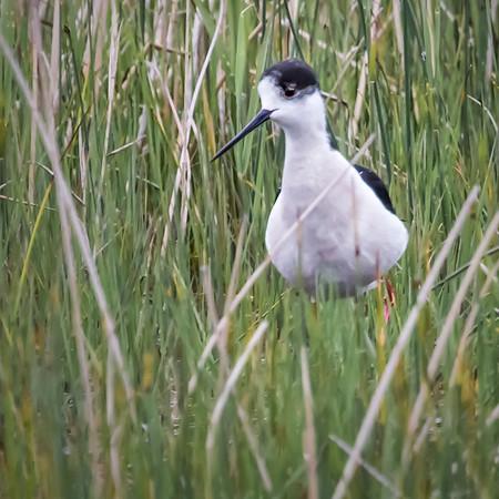 Shore Birds in Burgenland