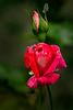 Late blooming rose