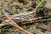 Short antennae Grasshopper - Kurzfühler Heuschrecke