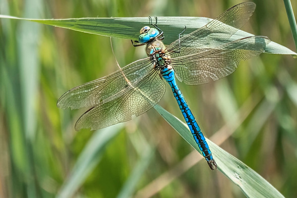 Emperor Dragonfly - Male