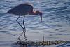 Tricolor Egret