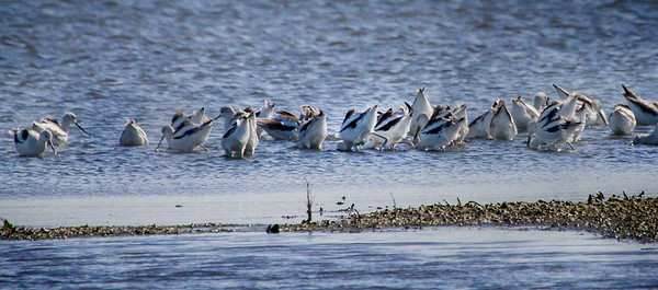 Avocets Feasting