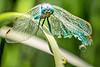 Blaupfeil - Blue Skimmer