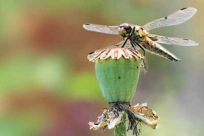 Summer, Poppy, and Dragonfly