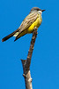 Common Yellowhawk