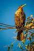 Cormorant Greeting the Morning