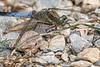 Black-tailed Skimmer - Großer Blaupfeil