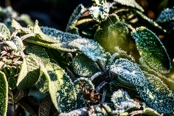 Icey Sage