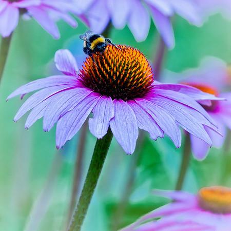 Bumblebee at work