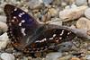 Lesser Purple Emperor - Kleiner Schillerfalter