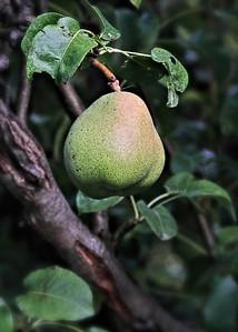Pear Ripening