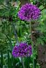 Allium, now fully open on a rainy day
