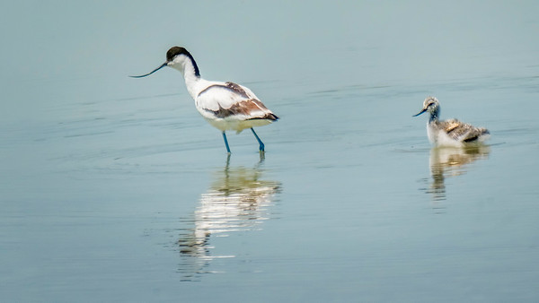 Pied Avocet (Säbelschnäbler) with Chick