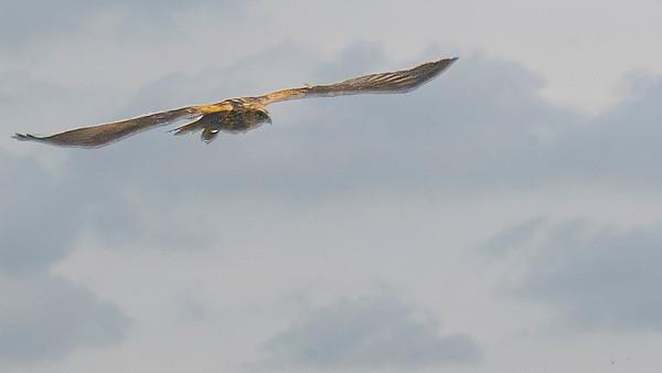 Marsh Harrier - Rohrweihe - far away and high up
