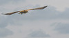 Marsh Harrier - Rohrweihe - far away and high up