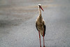 White (?) Stork