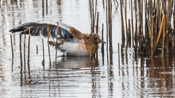 Black-headed gull - Lachmöve, with chick