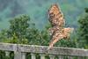 Uhu (Bubo bubo) - Eurasian Eagle Owl