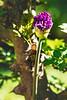 Alium in front of pepper tree