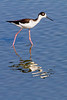 Black necked Stilt (US)