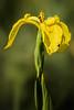 Sumpf-Schwertlilie   Yellow Iris