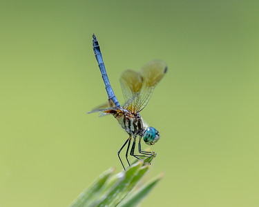 Blue Dragonfly - Headstand
