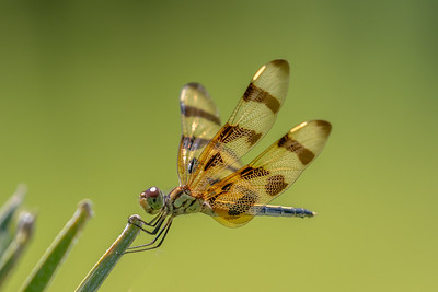 12 Point Dragonfly