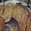 Solid Wooden Wagon Wheel on Carreta with Sheepskin Hide, El Rancho de la Golondrinas, Los Pinos Road, Santa Fe, New Mexico