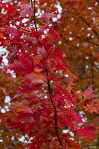 2010 11 01 Fall Maple Leaves 006