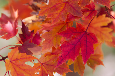 2010 11 03 Fall Maple Leaves 006