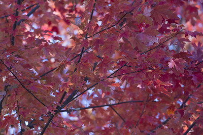 2010 11 04 Fall Maple Leaves 008