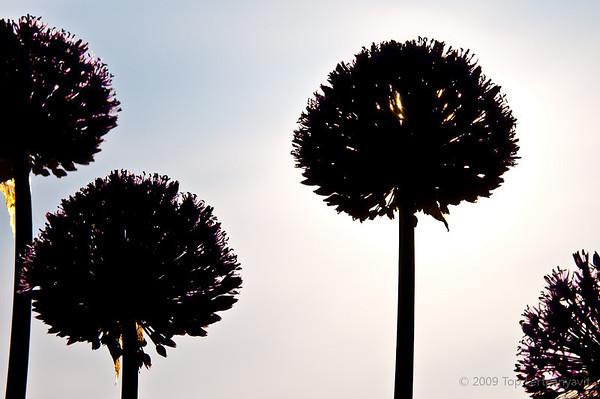 Silhouettes of alliums