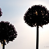 Silhouettes of alliums