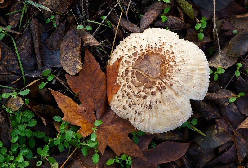 Mushroom on bank of Kitchen Creek