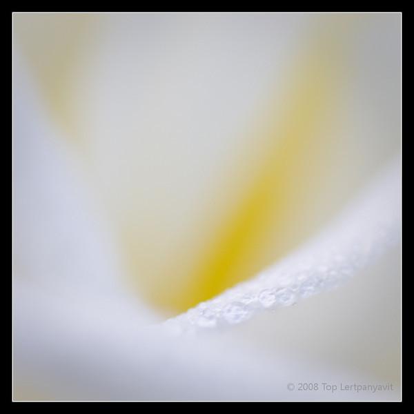 Dew drops on rose petals.