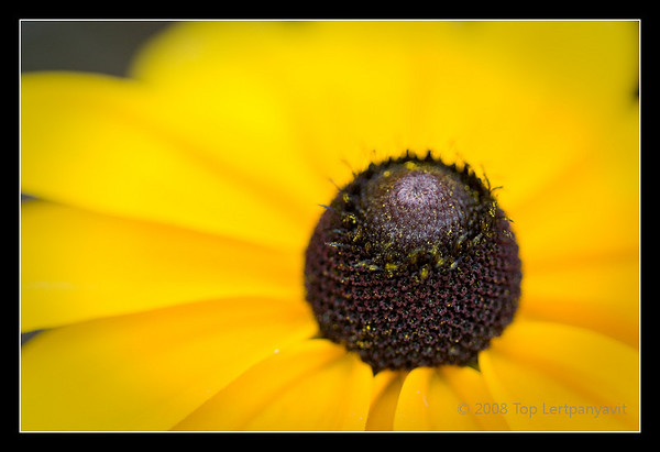 Black-Eyed Susan or Rudbeckia or coneflower.