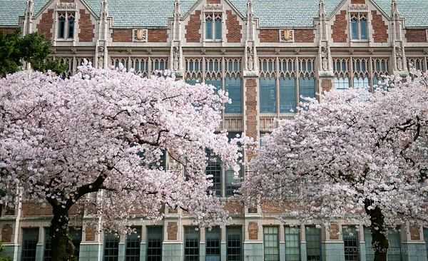 Flowing cherry blossoms contrast with the rectilinear buildings at the Quad at the University of Washington.