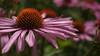 Purple Cone Flowers NLSchober_1100617