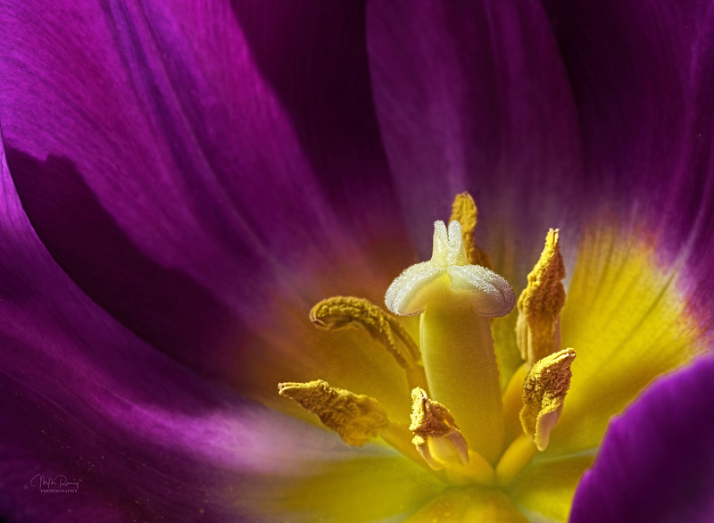 Tulip I