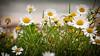 daisies on the beach in Connemara