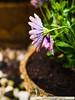 flowers2016NLSchober_1110482