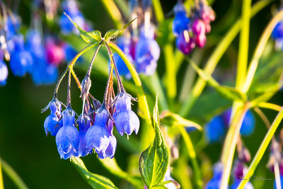Light Kissed Blue Bells