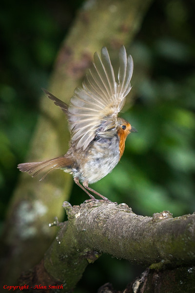 Robin taking to Wing