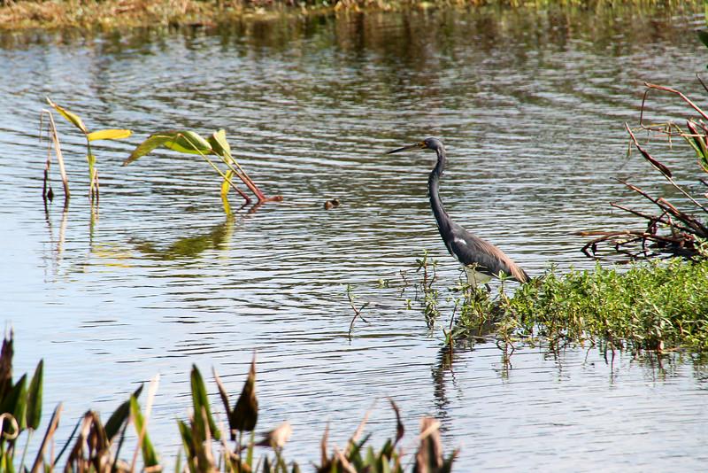 Wakodahatchee Wetlands - 01/26/15